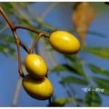 徘徊於苦楝樹下,冬日裡會被串串的黃果所著迷,春天裡會那淡淡的幽香所吸引。