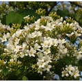 東大公園の油桐花開