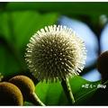 午後來至興大湖畔散步,遇見「欖仁舅」的花開,白色花球點綴樹梢宛似小燈泡。