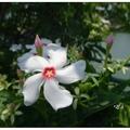 夏日於海岸邊常見海檬果花開,因葉形及果形似芒果而得名,為常綠小喬木。