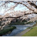 日~京都鴨川の櫻花