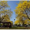 三月是黃花風鈴木綻放的季節,位於中市「廍子公園」裡風鈴木開得最豔麗。  金黃色的花朵開滿整個樹梢,吸引相當多民眾前來觀賞。