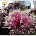 煙火花約於每年春節前花開,花色艷麗增添年節喜慶的氣氛。