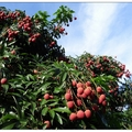 端午節過後即是荔枝盛產期,市場口或是路旁可見紅艷的荔枝,皆想買來嘗鮮。