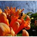 炮仗花海公園位於苗栗銅鑼鄉119縣道旁,是處欣賞炮仗花花海的景點。炮仗花的花開規模為全台之最,萬朵金黃色的花海爆開似如瀑布般的美。