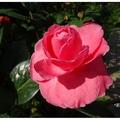 山茶花之家位處於嘉義竹崎鄉桃源村三寶山半山腰上,春節期間正值山茶花盛開。