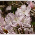 韓~佛國寺の杜鵑花