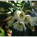 花開似如跳舞少女穿著潔白的蕾絲蓬裙,朵朵掛於枝葉下,花樣迷人。