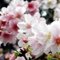 二月底,中正紀念堂的八重櫻和大漁櫻盛放,白梅和宮粉梅也仍俏立枝頭,遊人如織,春意正濃。