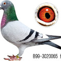 20180626 比利時精兵鴿舍芮娜Reynaert鴿系介紹 - 2