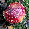毒蠅傘 - rød fluesopp