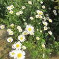 今年的夏陽...遲滯不常來到,後院的花兒輪流來報到,用相機捕捉藍天白花景象,意外的帶來好心情...
