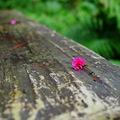 李花與櫻花