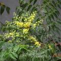 九月份,臺灣欒樹依舊按時抽出花苞,植物之信如此,人物豈不愧哉?