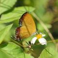 紅邊黃小灰蝶