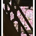 若說春天是個活潑的小姑娘,有什麼能比得上在古都的街角、遇上穿戴典雅的她要來得驚喜呢?