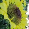 這是五月在上海世紀公園拍的向日葵, 一種矮株品種的向日葵,只有手臂長的高矮, 所以可以從不同的角度欣賞到花心的神奇與美麗.......