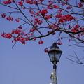 國父紀念館今年櫻花開得很多、很美......
