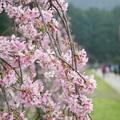 櫻花開了  九族枝垂櫻粉紅登場 - 5