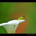 201204春‧竹子湖‧中國樹蟾