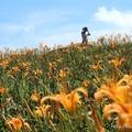 2017 六十石山金針花季