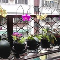 陽台蘭花盛開 2014.5.5