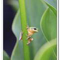 海芋白色花杯裡,藏著可愛的小樹蛙,細心找,將有蛙哈哈的驚喜!
