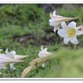 2012四月天,遇見開在沙灘的野百合,匐匐花開十分特別。