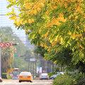 六月的台中市興大路,是一條金色大道,阿勃勒開得金金燦燦!