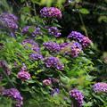 初夏的竹子湖,滿山紫紫藍藍,是美麗的繡球花開!