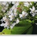 桃園丘陵的桐花林,密度高,是賞桐花的好地點。 大艽芎古道尤其不可錯過,可以尋幽探古,看桐花飛雪。
