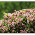 大屯公園杜鵑數萬株,有紅星杜鵑、西施花等稀有種。