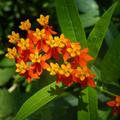 馬利筋花,又名蓮生桂子花、芳草花。花朵顏色艷麗,造型小巧可愛又別緻,果實、種子也很特別,是蟲、蝶喜愛的蜜源植物。
