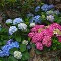 花露休閒農場位於苗栗卓蘭。繡球花,色彩繽紛,希望、圓滿、美滿、忠真、永恆都世它的花語。