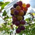 葡萄成熟時,果實纍纍!