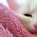 裹著粉紅小毯的白貓