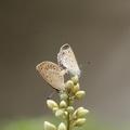 斑蝶飛舞求偶