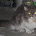 迷路的金吉拉貓