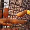 (103)2013台灣燈會在新竹-百鳥朝鳳花燈
