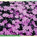(001)北海道-藻琴山芝櫻