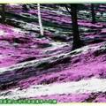 (004)北海道-藻琴山芝櫻
