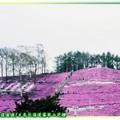 (005)北海道-藻琴山芝櫻