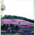(010)北海道-藻琴山芝櫻