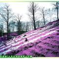 (011)北海道-藻琴山芝櫻