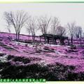 (015)北海道-藻琴山芝櫻