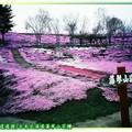 (016)北海道-藻琴山芝櫻