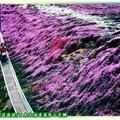 (017)北海道-藻琴山芝櫻