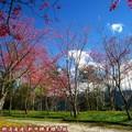(057)新中橫-路邊停車場之山櫻花