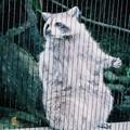 (311)台北市立動物園-北美浣熊