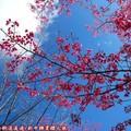 (059)新中橫-路邊停車場之山櫻花